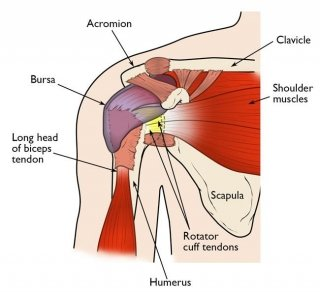 Image of Shoulder anatomy Kevin Collins, MD Sports Medicine - Orthopedic Surgeon