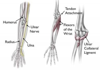 bones and ligaments of the elbow
